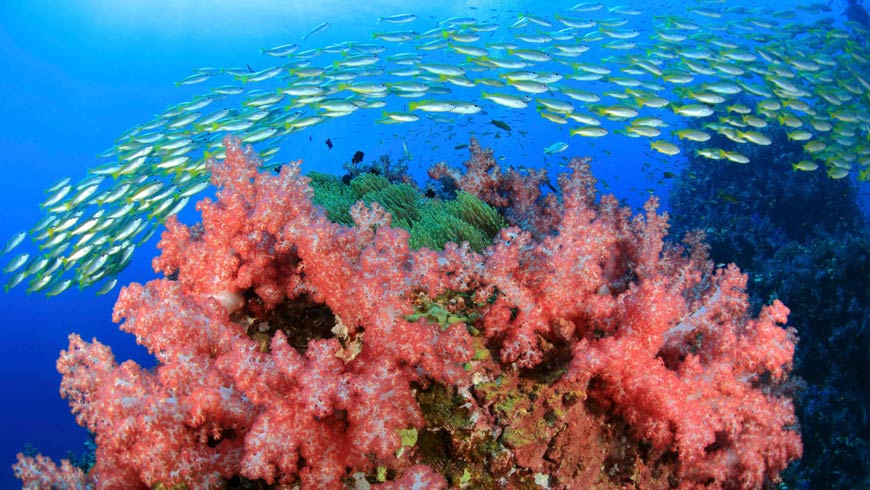 Fish swimming near pink coral with blue underwater background