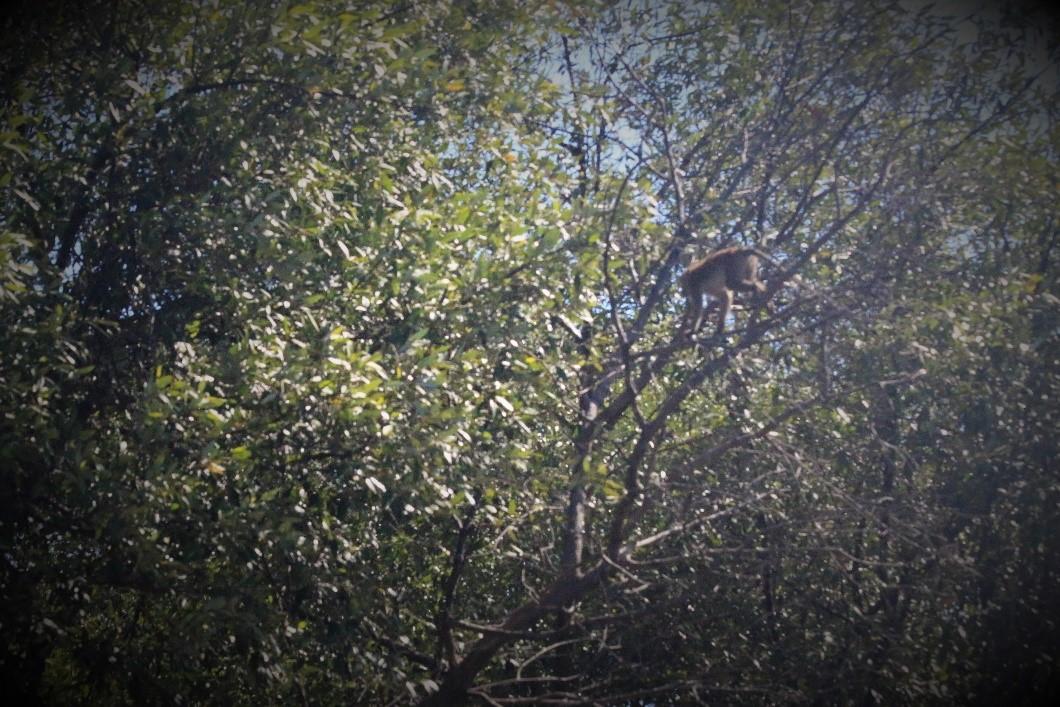 A monkey jumping between mangroves