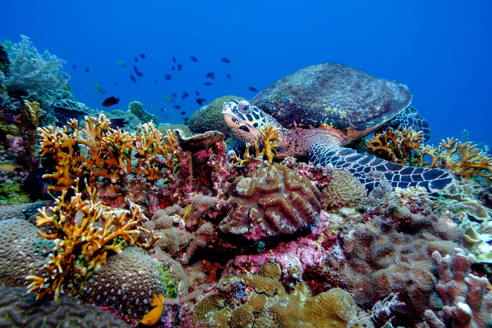 A hawksbill turtle resting on the reef